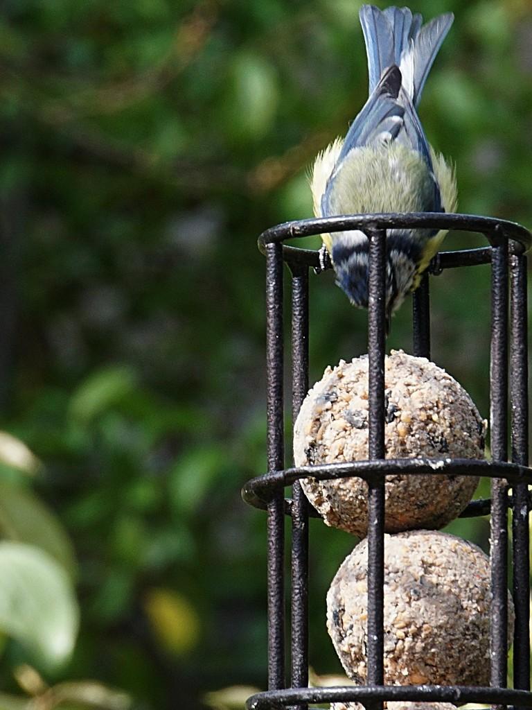 blue tit on the feeder by quietpurplehaze