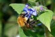 7th May 2017 - BEE AND BORAGE