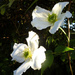 Clematis in the early evening light  ... by snowy
