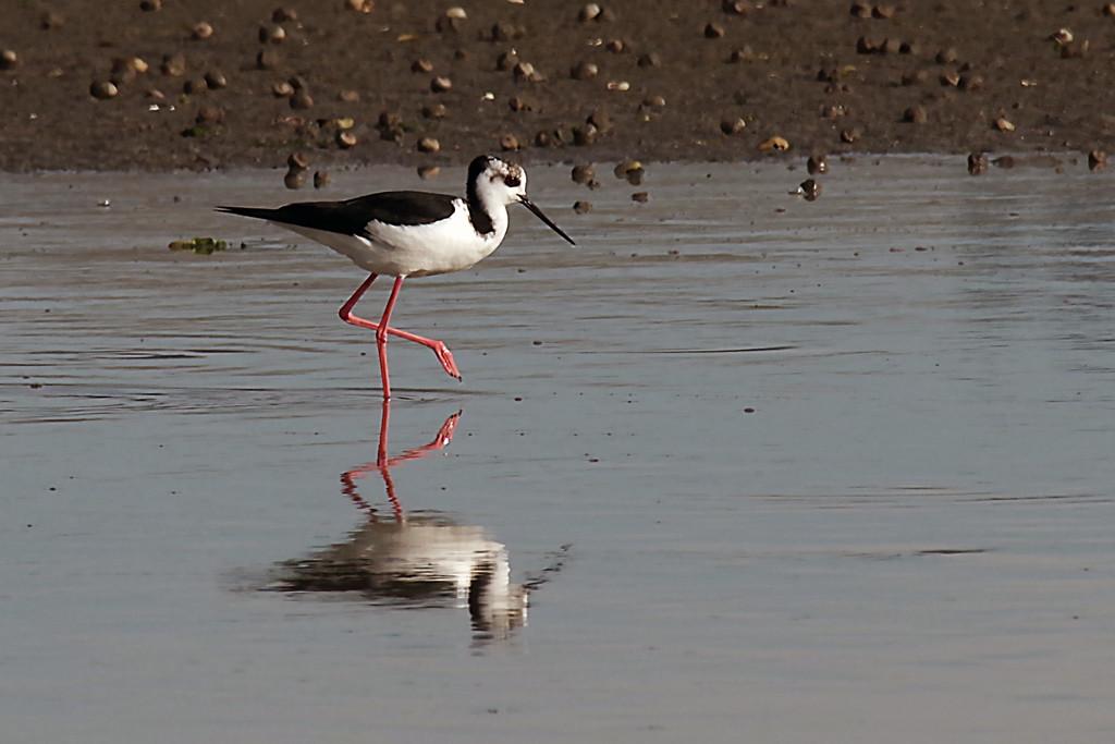 Juvenile pied stilt NZ by maureenpp