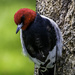Red Headed Woodpecker by skipt07