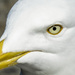 Gull eye by m2016