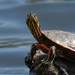 Painted Turtle by tosee