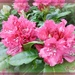 Pink Rhododendron  by beryl