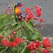 Rainbow Lorikeet by corymbia