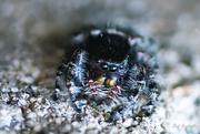 4th May 2017 - Baby Jumping Spider