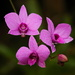 Cooktown Orchid by terryliv