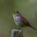 A Wren's song of spring by berelaxed