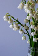 10th May 2017 - Lily of the Valley Close Up