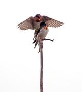 11th May 2017 - Swallows wanting the same perch