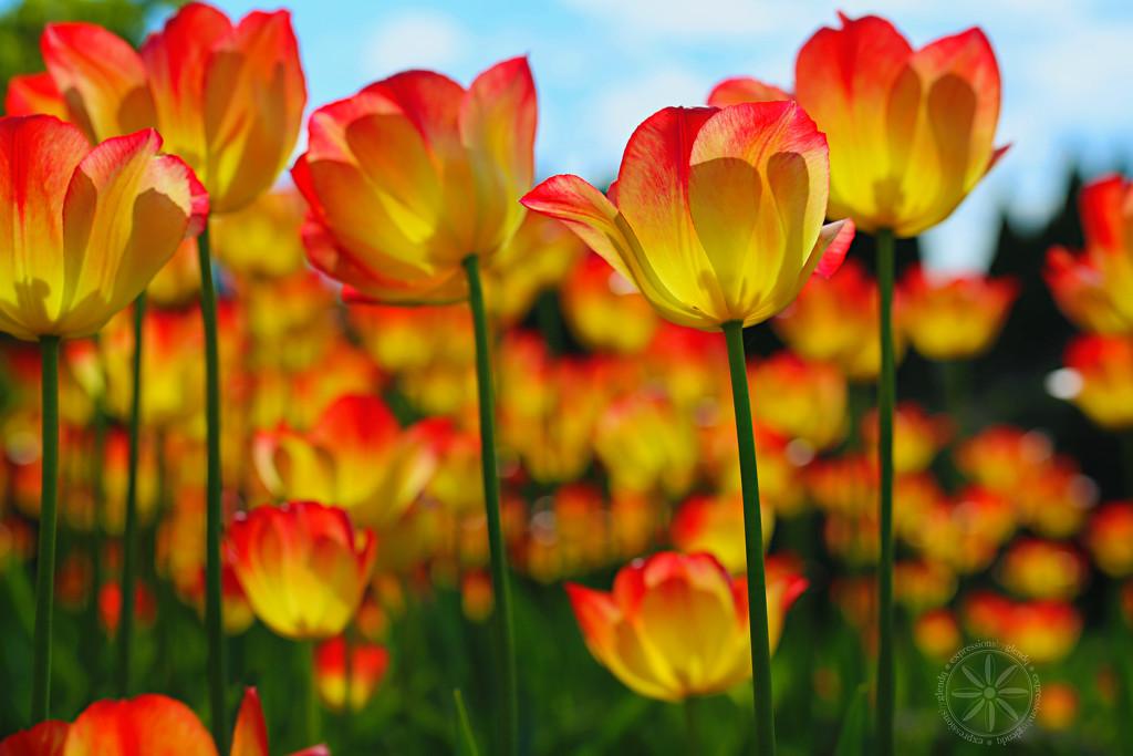 Tulip Garden by gq