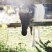 Spring fling Pony
