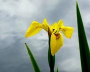 10th May 2017 - Yellow Flag Iris