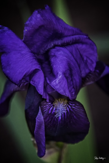 Purple Iris by skipt07