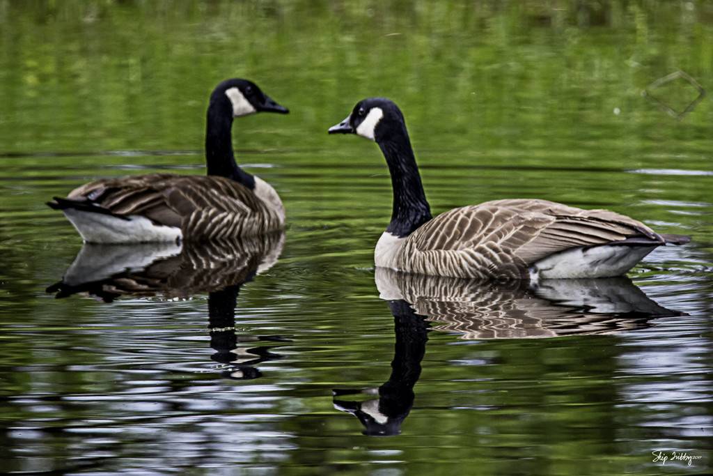 Canadian Geese by skipt07