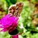 Leptirić na djetelini by vesna0210