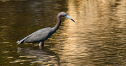 11th May 2017 - Little Blue Heron!