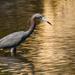 Little Blue Heron! by rickster549