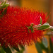 BOTTLEBRUSH by sangwann