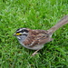 White Throated Sparrow by brillomick