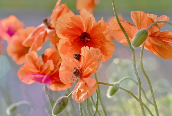 poppies in the sun by lynnz