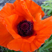 First Poppy by cmp