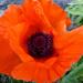 First Poppy by cmp