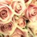 2689-0513 Roses by cirasj