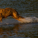 Dog Walking on Water! by rickster549