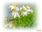 14th May 2017 - Aquilegia By The Lake