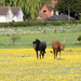Amidst the buttercups..... by susie1205