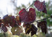 14th May 2017 - Vine Leaves