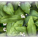 Lily of the Valley - my mother's favourite flower by ivan