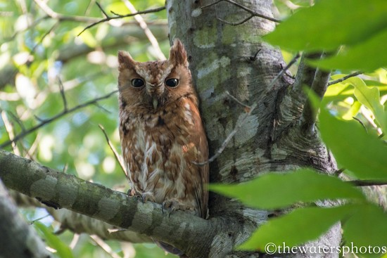 Screech owl... by thewatersphotos