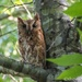 Screech owl... on 365 Project