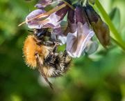 14th May 2017 - St Bees bee
