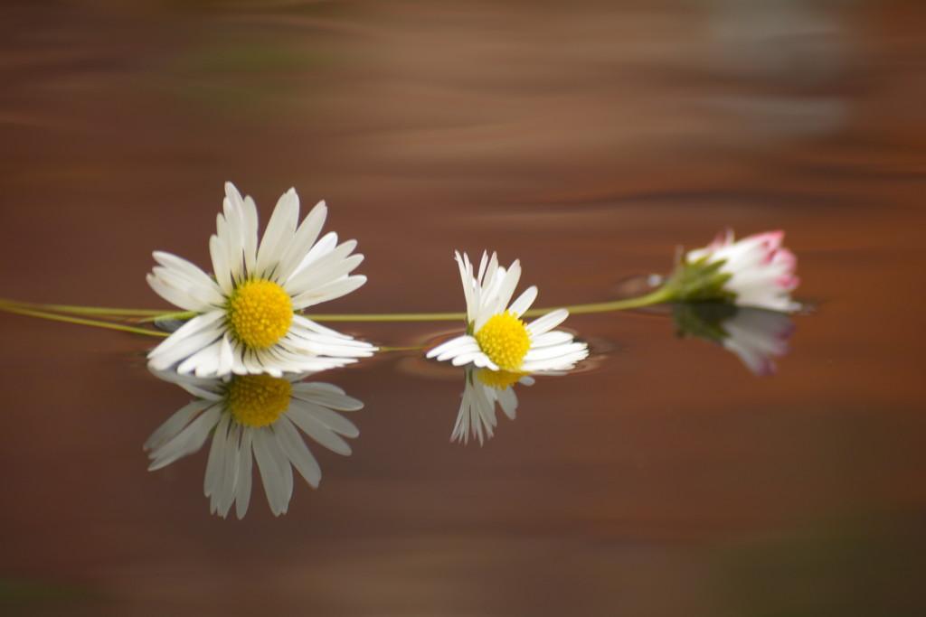 Dallying daisies drifting..... by ziggy77