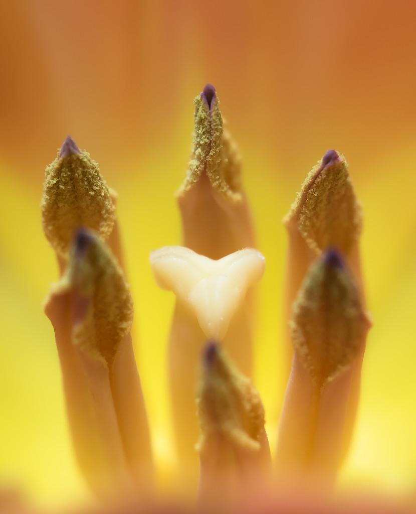 Tulip by peadar