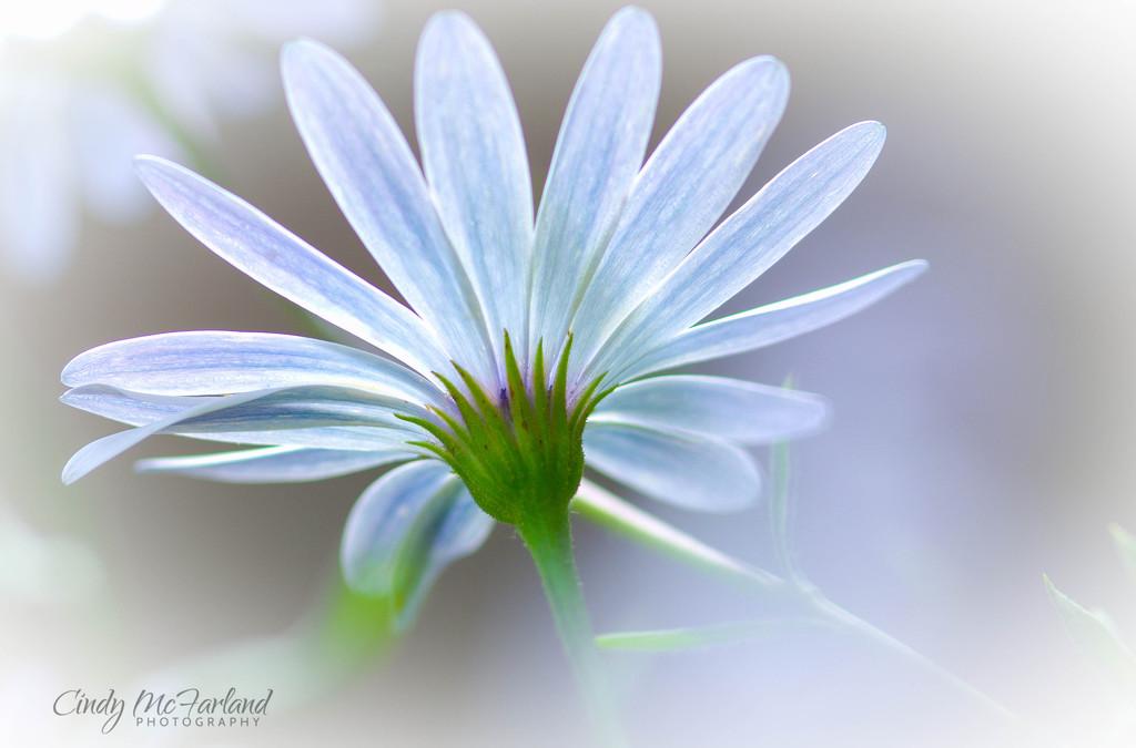 Blue Daisy by cindymc