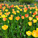 Tulips in Oslo by elisasaeter
