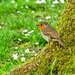 Robin On A Mossy Tree Trunk