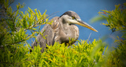 16th May 2017 - Blue Heron Trying to Hide From Me!