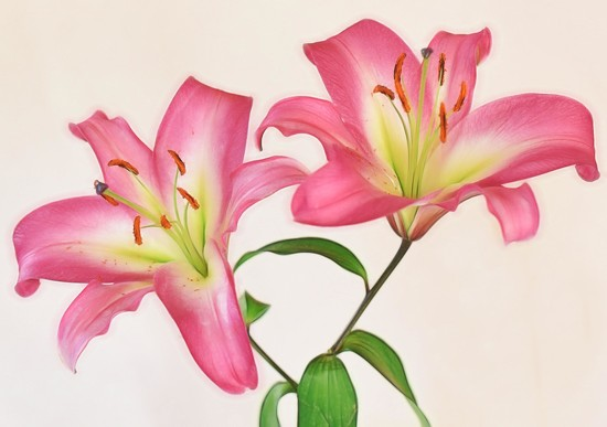 Mom's Lillies by joysfocus
