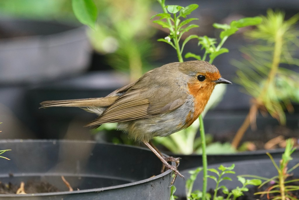 WORKING IN THE GARDEN, AND ROBIN CAME TOO-ONE by markp