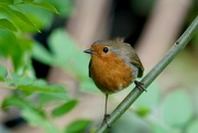 17th May 2017 - WORKING IN THE GARDEN, AND ROBIN CAME TOO- THREE