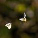 Cabbage Moth Dance