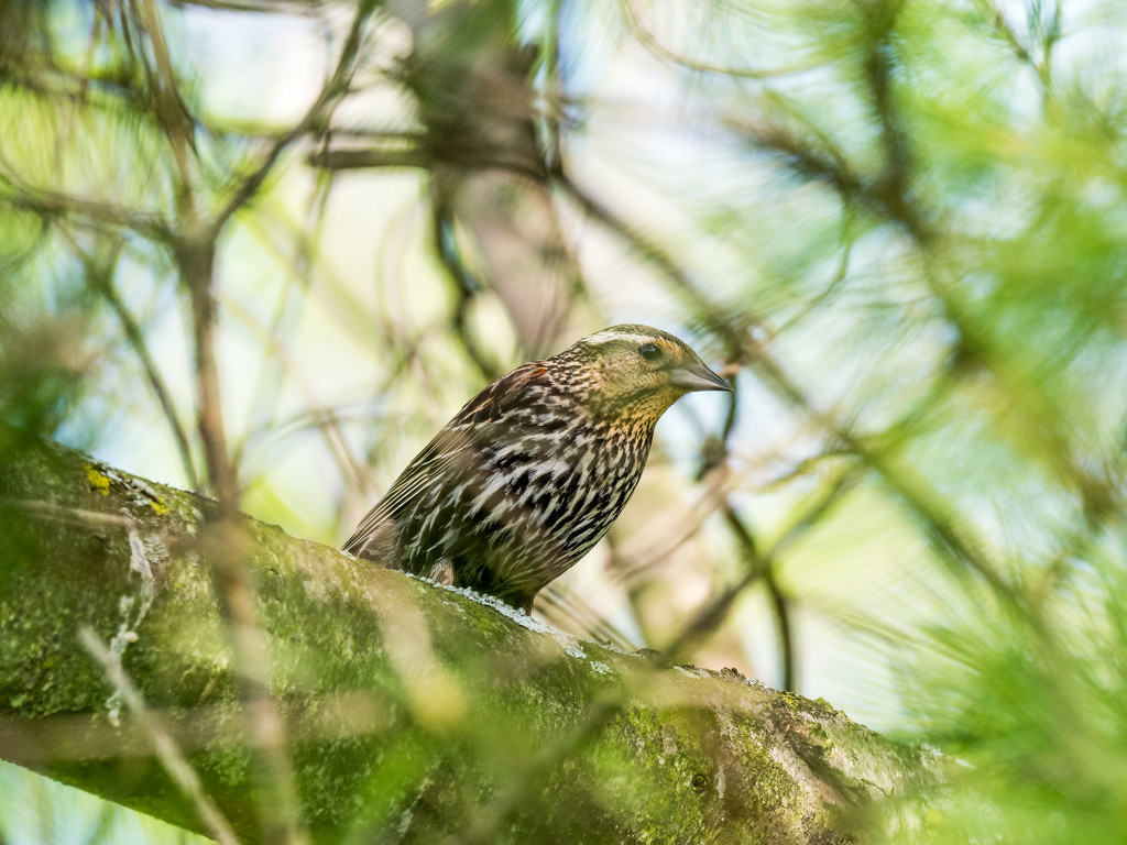 Female Red-winged Blackbird in a pine tree by rminer
