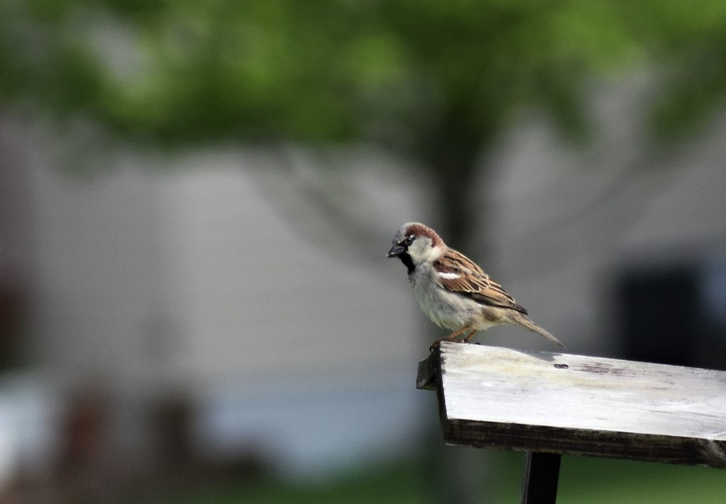 Backyard brown bird by caitnessa
