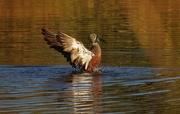 18th May 2017 - Shoveler duck flapping