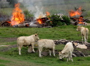 19th May 2017 - These cattle were not phazed by the burning rubbish